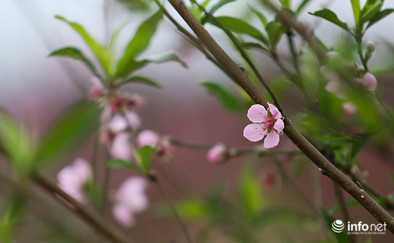 Hoa đào vẫn đẹp sau Tết - ảnh 3