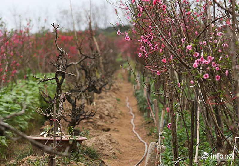 Hoa đào vẫn đẹp sau Tết - ảnh 7