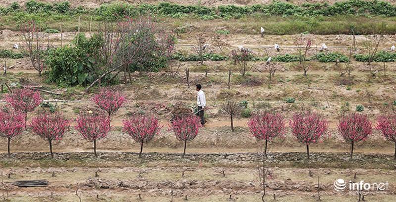 Hoa đào vẫn đẹp sau Tết - ảnh 9