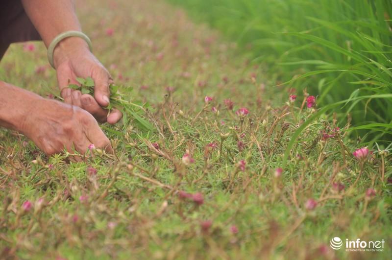 Mê mẩn con đường hoa mười giờ thơ mộng của hai vợ chồng lão nông - ảnh 12