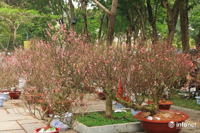 Thiếu nữ thướt tha bên hoa đào trong nắng phương Nam - ảnh 1
