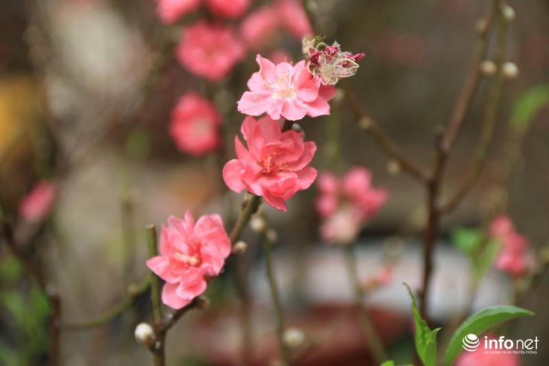 Thiếu nữ thướt tha bên hoa đào trong nắng phương Nam - ảnh 12