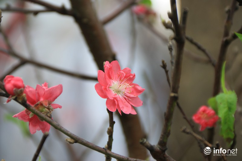 Thiếu nữ thướt tha bên hoa đào trong nắng phương Nam - ảnh 14