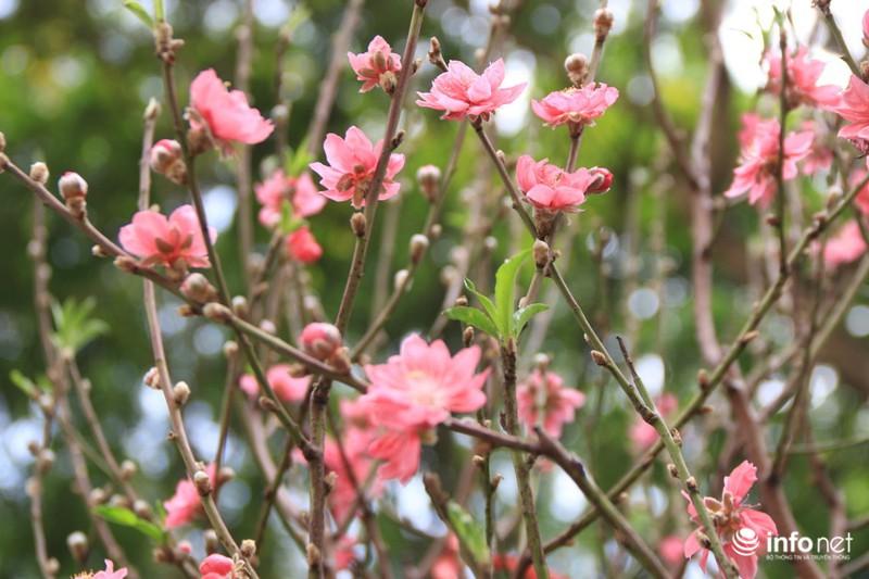 Thiếu nữ thướt tha bên hoa đào trong nắng phương Nam - ảnh 3