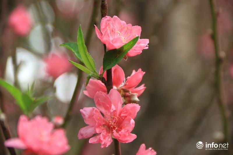 Thiếu nữ thướt tha bên hoa đào trong nắng phương Nam - ảnh 5