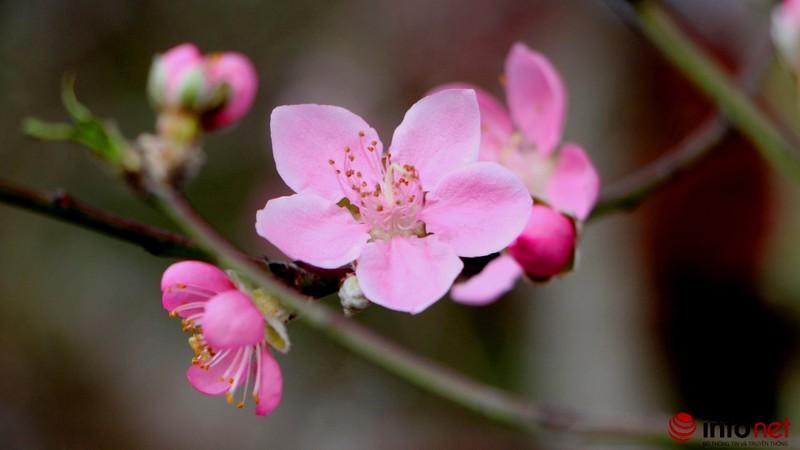 Hoa đào khoe sắc trong nắng phương Nam - ảnh 10