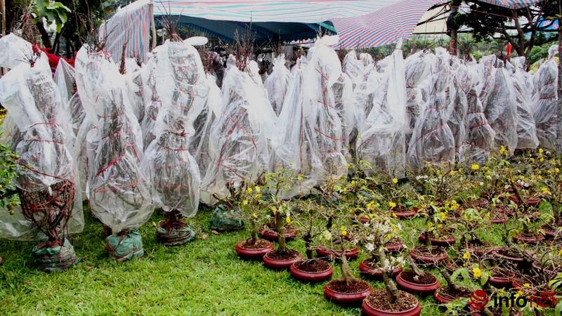 Hoa đào khoe sắc trong nắng phương Nam - ảnh 2