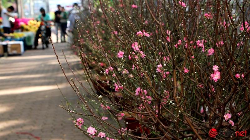 Hoa đào khoe sắc trong nắng phương Nam - ảnh 4