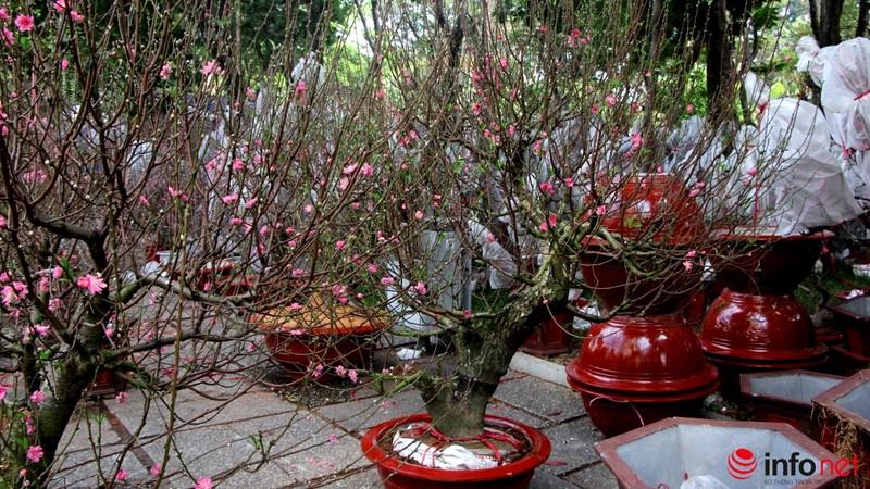 Hoa đào khoe sắc trong nắng phương Nam - ảnh 14