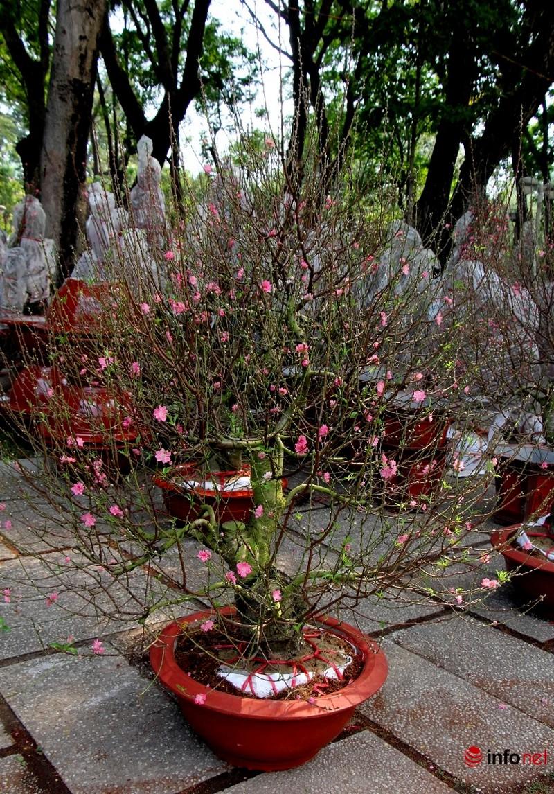 Hoa đào khoe sắc trong nắng phương Nam - ảnh 21