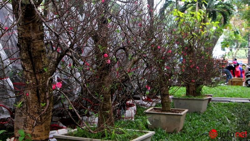 Hoa đào khoe sắc trong nắng phương Nam - ảnh 3