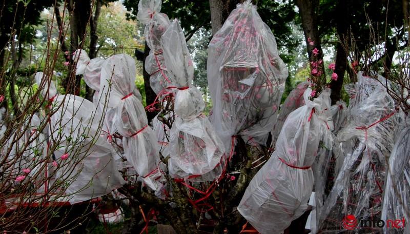Hoa đào khoe sắc trong nắng phương Nam - ảnh 11