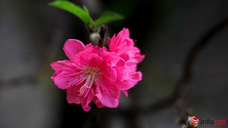 Hoa đào khoe sắc trong nắng phương Nam - ảnh 8