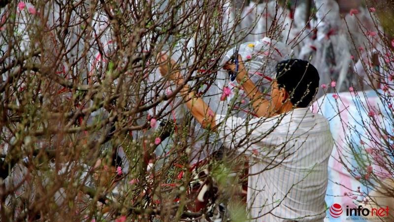 Hoa đào khoe sắc trong nắng phương Nam - ảnh 19
