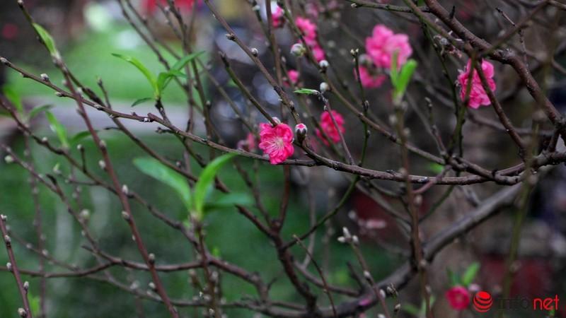 Hoa đào khoe sắc trong nắng phương Nam - ảnh 15