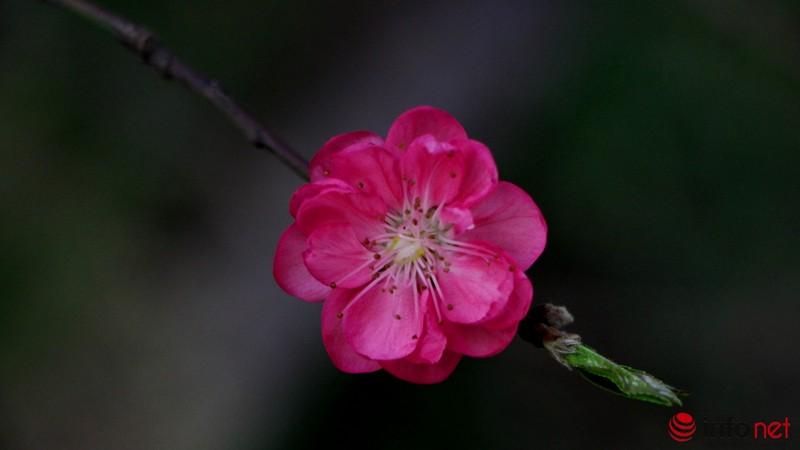 Hoa đào khoe sắc trong nắng phương Nam - ảnh 7