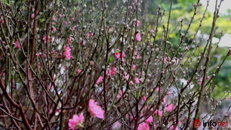 Hoa đào khoe sắc trong nắng phương Nam - ảnh 1