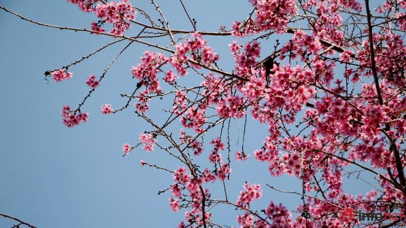 Mai anh đào tháng 3 vẫn nhuộm hồng Đà Lạt - ảnh 1