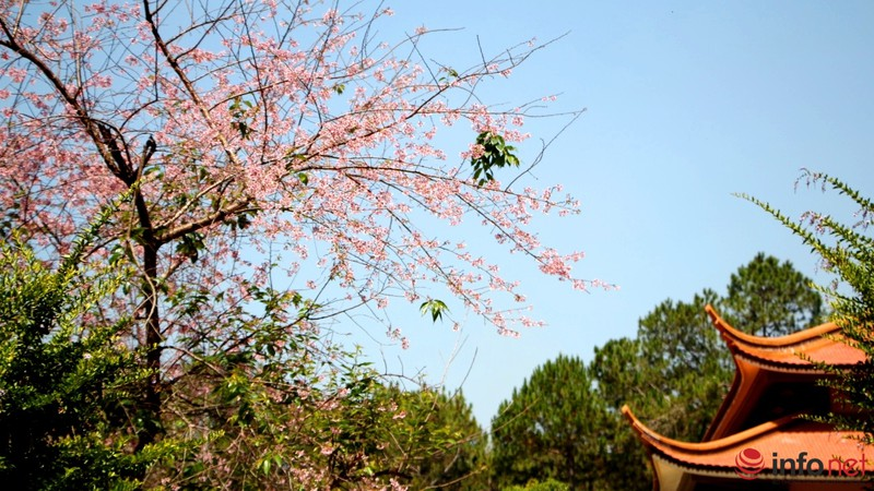 Mai anh đào tháng 3 vẫn nhuộm hồng Đà Lạt - ảnh 14