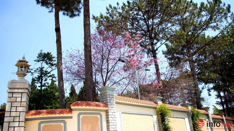 Mai anh đào tháng 3 vẫn nhuộm hồng Đà Lạt - ảnh 15