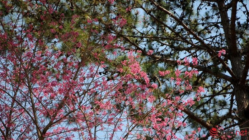 Mai anh đào tháng 3 vẫn nhuộm hồng Đà Lạt - ảnh 16