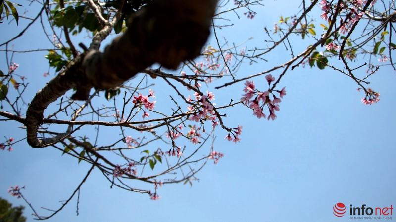 Mai anh đào tháng 3 vẫn nhuộm hồng Đà Lạt - ảnh 7