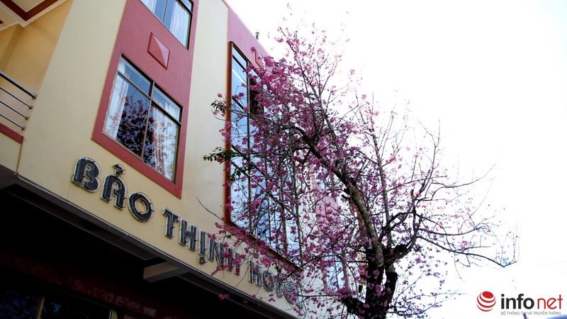 Mai anh đào tháng 3 vẫn nhuộm hồng Đà Lạt - ảnh 2