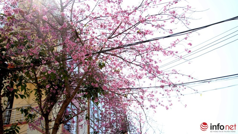 Mai anh đào tháng 3 vẫn nhuộm hồng Đà Lạt - ảnh 3