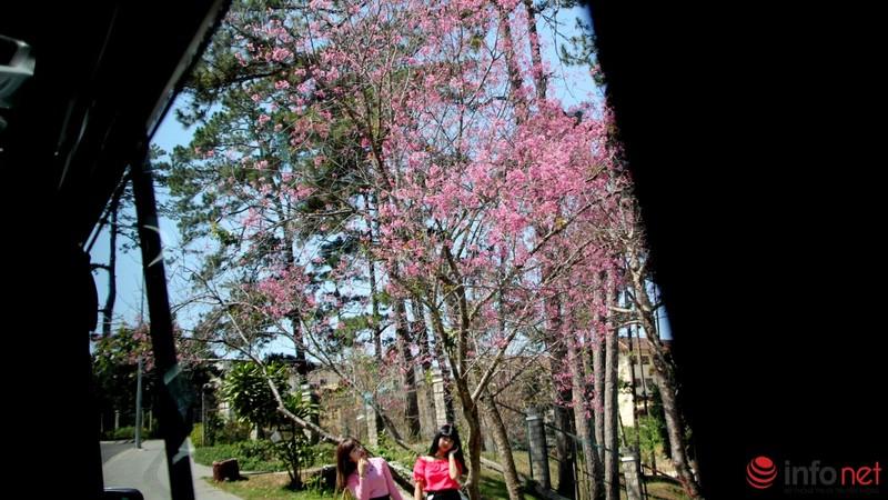 Mai anh đào tháng 3 vẫn nhuộm hồng Đà Lạt - ảnh 10