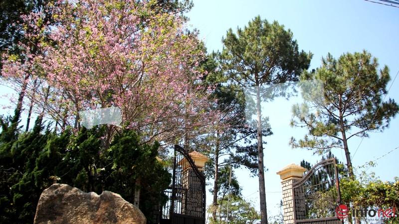 Mai anh đào tháng 3 vẫn nhuộm hồng Đà Lạt - ảnh 13