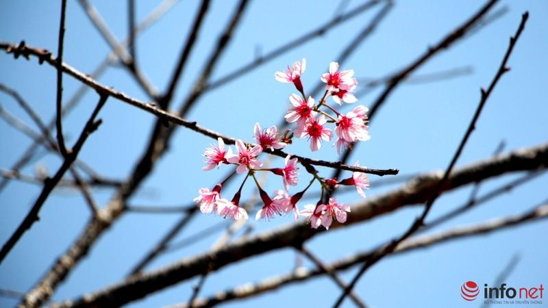 Mai anh đào tháng 3 vẫn nhuộm hồng Đà Lạt - ảnh 5