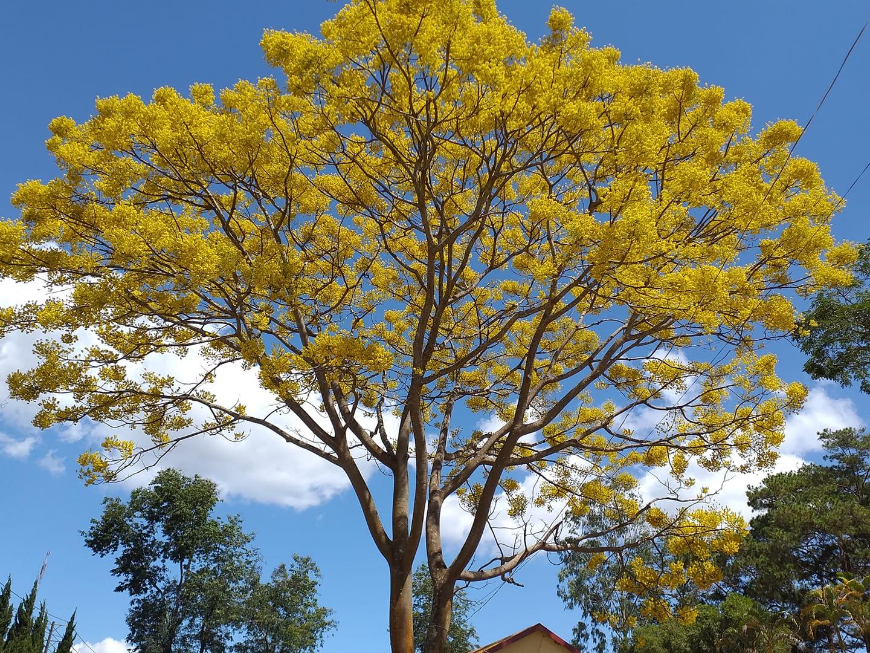 Cây phượng báo hiệu mùa hè của học trò ra hoa giữa đông, lại có màu vàng độc lạ, không ai nỡ quét đi vì đẹp quá - Ảnh 2.