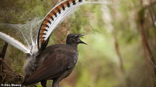 Loài chim có phong cách tán gái vô địch thiên hạ: Khi tình yêu rốt cục cũng chỉ là một cú lừa cay đắng - Ảnh 1.