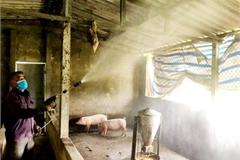 Dịch bệnh chăn nuôi: Cần củng cố hơn nữa mạng lưới thú y cơ sở
