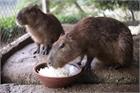 Hà Nội xuất hiện chuột khổng lồ nặng hơn 50kg nuôi như nuôi lợn