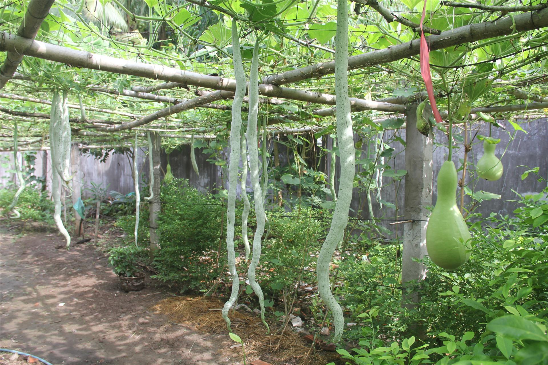 Cũng trong vườn bầu nhà ông Tài, có giống mướp đắng quả dài 2 mét. Hạt giống này là được 1 người bạn cho.