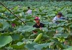 Hanoi man preserves lotus tea making