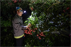 Bac Giang litchi growers busy in harvest season