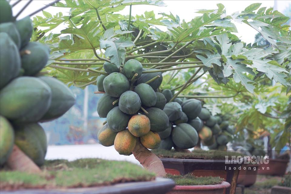 Chuẩn bị đón Tết Nguyên đán Tân Sửu, các nhà vườn ở Hưng Yên đang nhộn nhịp chuẩn bị cây cảnh, sẵn sàng cung ứng sản phẩm ra thị trường.