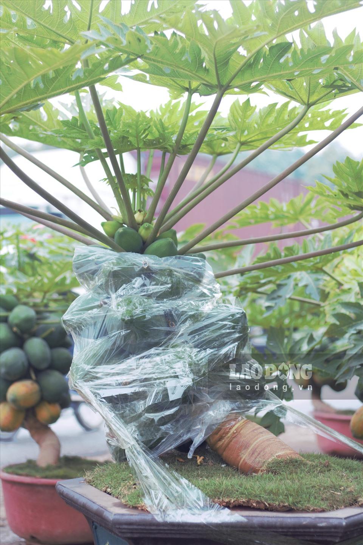 Loại cây cảnh này rất hiếm trên thị trường hiện nay, duy nhất nhà anh sở hữu tại Hưng Yên. Bởi vậy, nhiều chậu đu đủ bonsai đã có người đặt mua từ sớm.