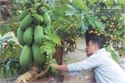 Hưng Yên: Một cây đu đủ được bán với giá 25 triệu đồng