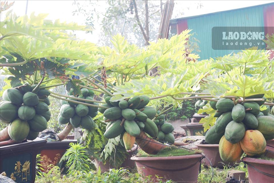 Để sở hữu một gốc đu đủ bon sai trĩu quả phải mất ít nhất 7 tháng chăm sóc, từ khi cây còn nhỏ đã được uốn thế, tạo dáng. Vì vậy, thời điểm trồng đu đủ bonsai tốt nhất bắt đầu từ cuối tháng 4, đầu tháng 5 Âm lịch để kịp thu hoạch vào dịp Tết.