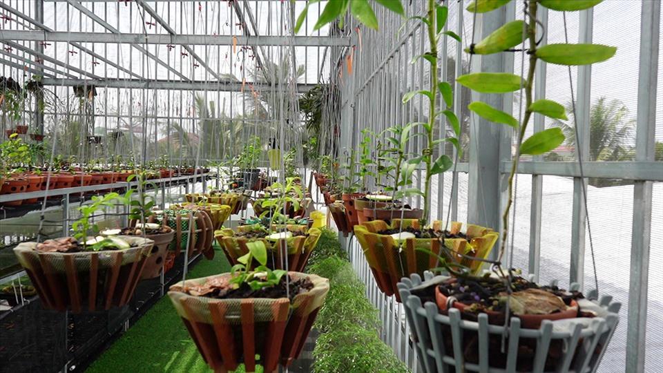 Vườn lan hiện có trên 30 giống đột biến với giá trị rất cao được trồng trên 300 chậu. Ảnh: TR.L.
