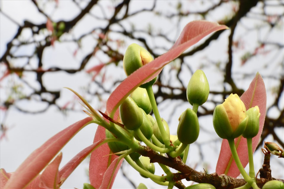 Anh Trương Hoài Phong chia sẻ, việc chăm sóc mai cổ thụ chủ yếu dựa vào kinh nghiệm của người trồng mai. Cái khó không nằm ở việc chăm mai đây chính là quá trình vận chuyển mai cổ thụ từ Gia Lai ra Đà Nẵng, nhất là thời điểm dịch COVID-19 diễn ra phức tạp. Ảnh: HL