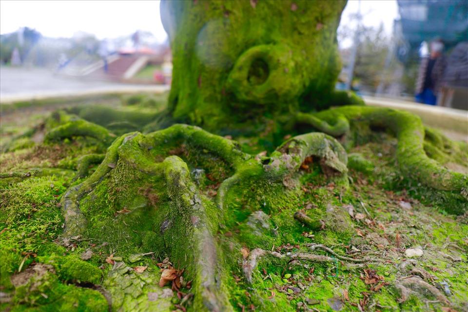 Gốc 2 cây mai cổ thụ phủ đầy rêu phong. Ảnh: HL