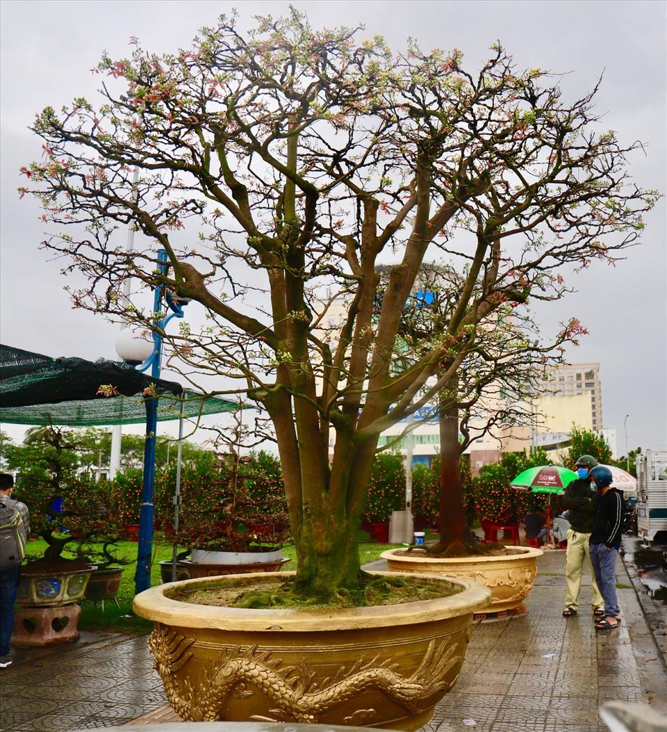 """Cây mai cổ thụ anh Phong tạm đặt tên là """"Ngũ Phúc"""" có giá 3 tỉ đồng. Điều đặc biệt của cây mai này chính là thân có 5 nhánh lớn tươi tốt đồng thời mang ý nghĩa phong thủy tốt đẹp. Ảnh: HL"""
