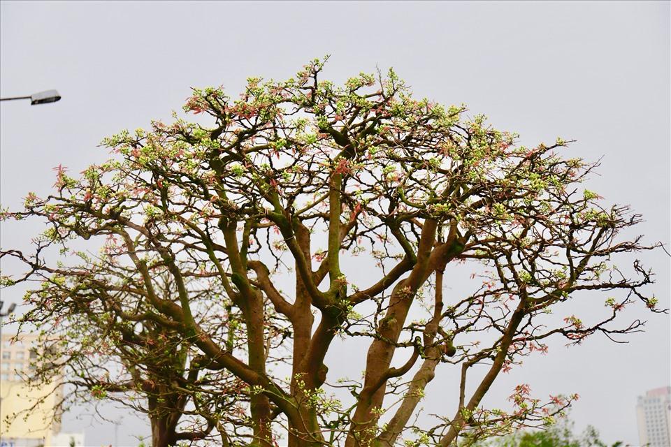 Theo lời anh Phong, thời tiết Đà Nẵng những ngày này bắt đầu nắng cũng là thời điểm 2 cây mai cổ thụ bung hoa. Ảnh: HL