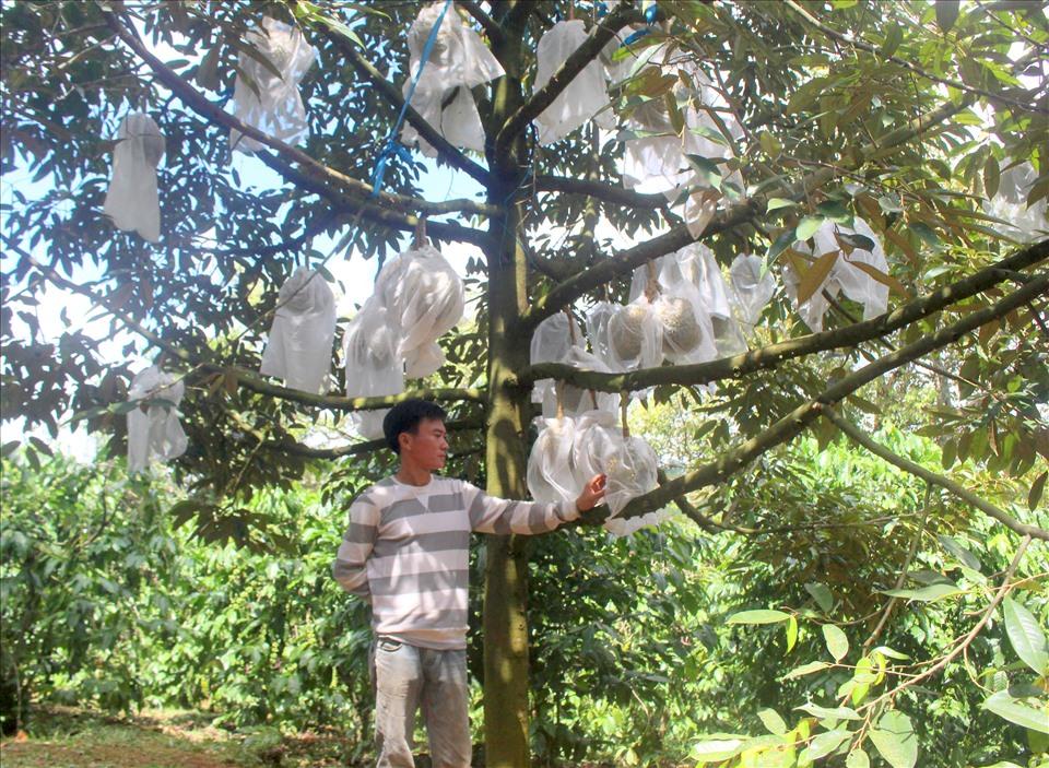 Chẳng những có giá trị cao mà cây sầu riêng vào giai đoạn thu hoạch cũng cho sản lượng 4-5 tạ/cây. Ảnh: Bảo Lâm