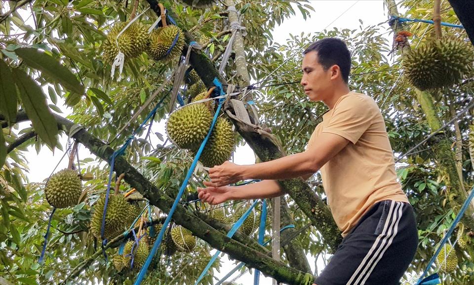 Mấy năm nay, cây sầu riêng liên tục nắm giữ vị thế dẫn đầu về thu nhập trong dòng cây ăn trái và cây công nghiệp ở Tây Nguyên. Ảnh: Bảo Lâm