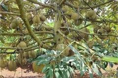 Sầu riêng đang là 'vua' của các loại cây trồng ở Tây Nguyên